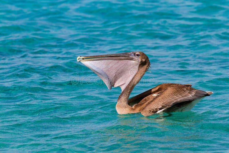 Brown pelican eating fresh fish on sea stock photo