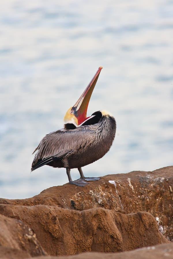 Download Brown Pelican In Breeding Plumage Stock Image - Image: 12753921