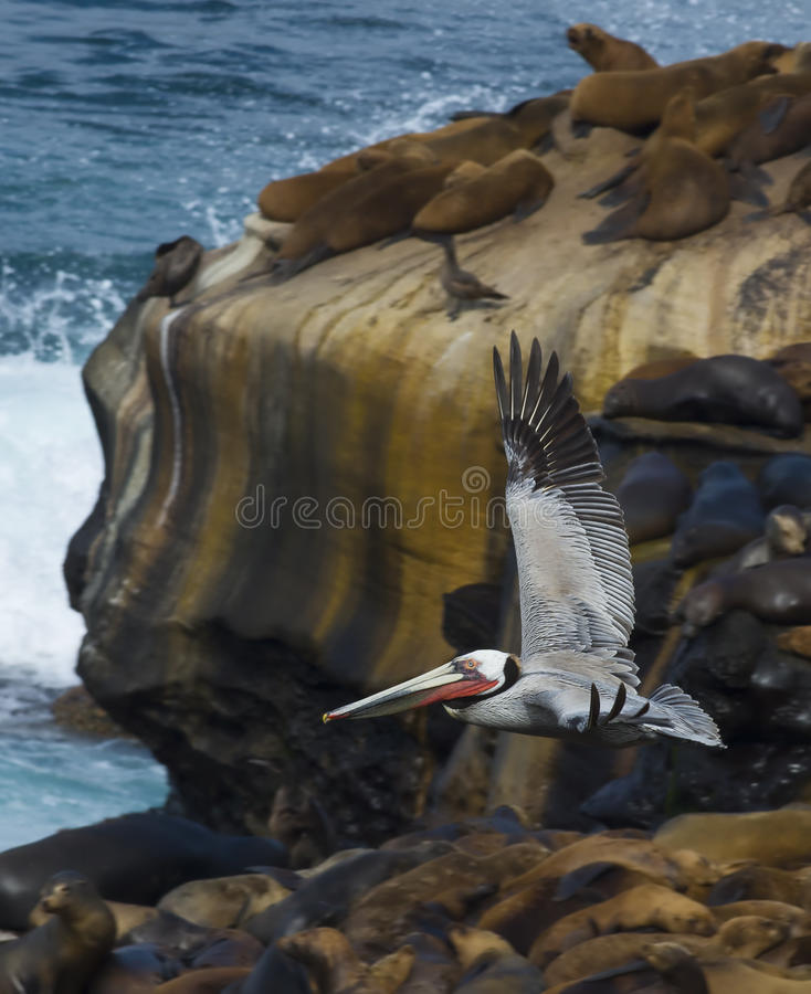 Brown Pelican, La Jolla Cove, California. Brown pelican in colorful feathers of winter breeding plumage is flying with wings extended upward above the cliffs stock photo