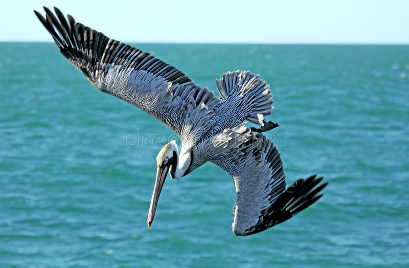Brown pelican diving into the blue water of Florida. stock image