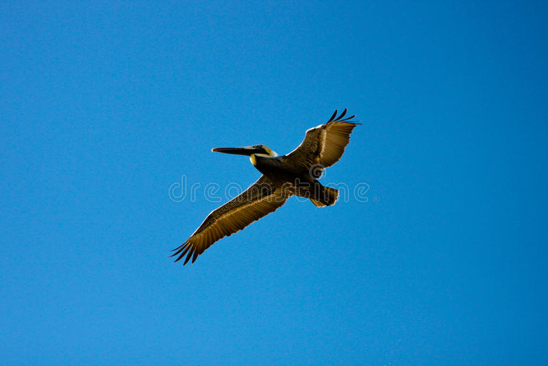 Download Brown Pelican in Flight stock image. Image of blue, pelecanidae - 13975245