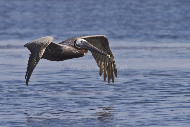 Download Brown Pelican in flight stock image. Image of wings, seabird - 26343137