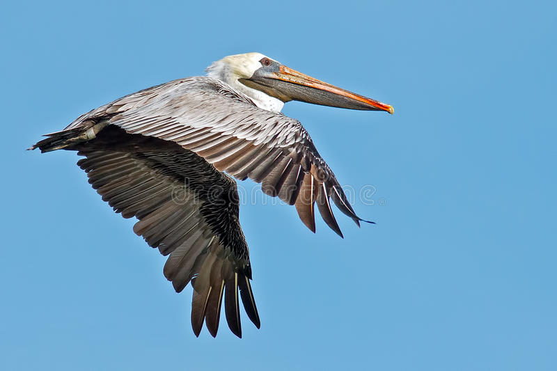 Brown Pelican. In flight against blue sky stock photography