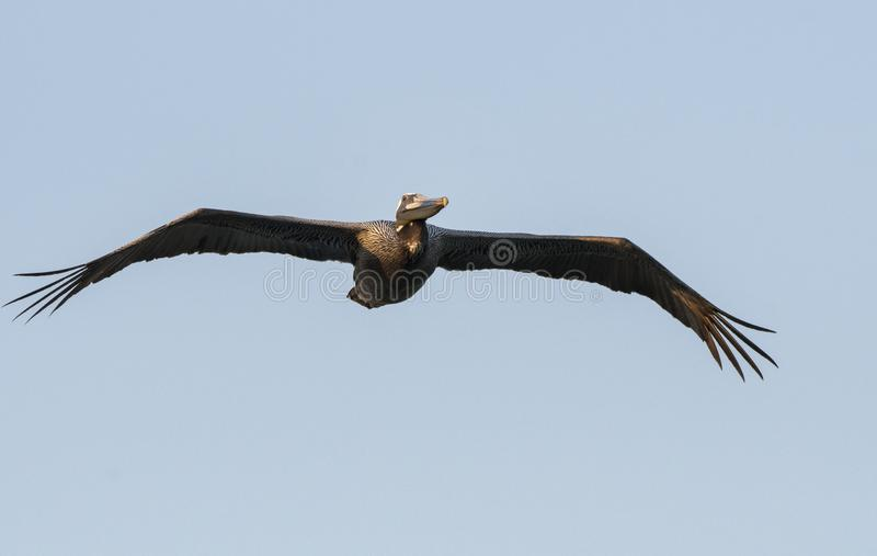 Brown Pelican in flight, Hilton Head Island beach, South Carolina. Large flying Brown Pelican with wings spread. Photographed on Hilton Head Island beach, South stock photos