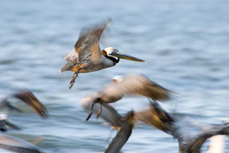 Brown Pelican in flight over Florida beach royalty free stock images