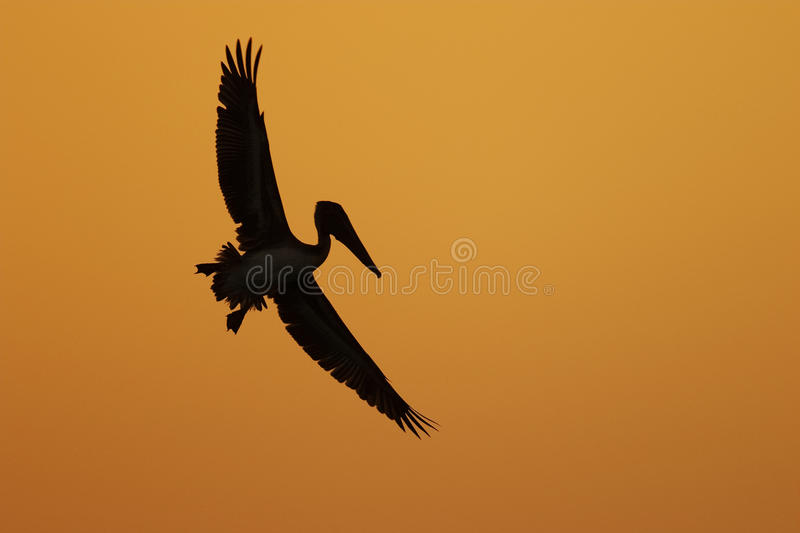 Brown Pelican in flight silhouetted against a Florida sunset stock photos