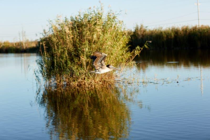 Brown pelican flying over wetlands in Louisiana stock images