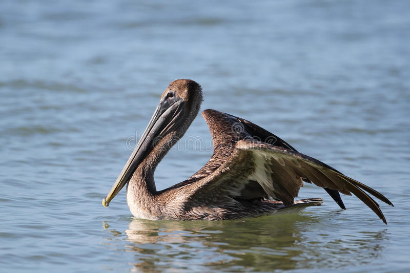 Brown Pelican - Fort Myers Beach, Florida Royalty Free Stock Images