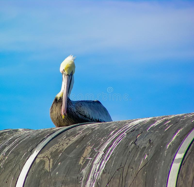 Brown Pelican On Guard. A once endangered Brown Pelican, Pelecanus occidentalis, resting on an old pipeline at high tide on Humboldt Bay in Eureka, California stock photography