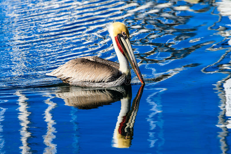 Brown Pelican in Harbor royalty free stock photos