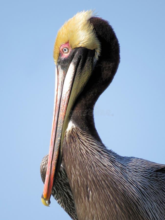 Brown Pelican stock image