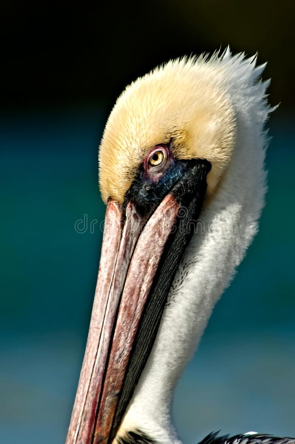Brown pelican head closeup portrait. Brown pelican head closeup shot portrait with teal, blue background, in Wiggins Pass, Florida stock images