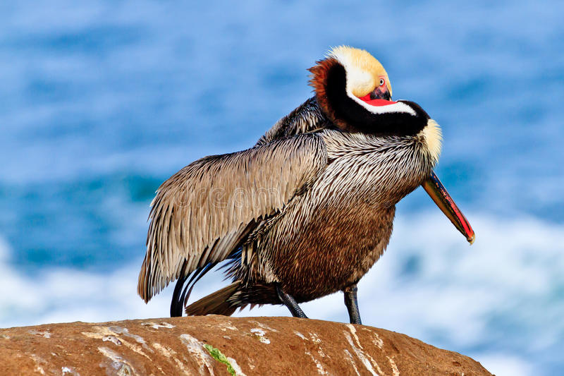 Brown Pelican. This image of a Brown Pelican was captured in La Jolla, California during the mating season. Male pelicans contort their heads and necks into odd royalty free stock image