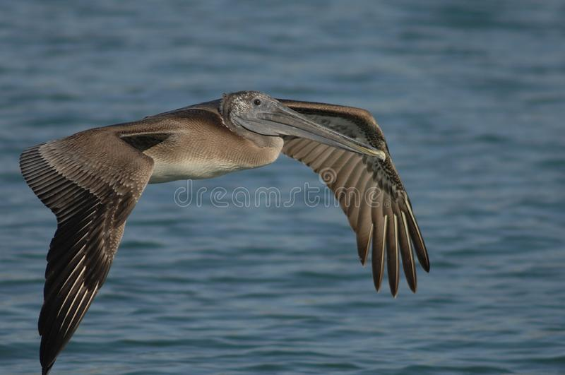 Brown Pelican - Immature stock images