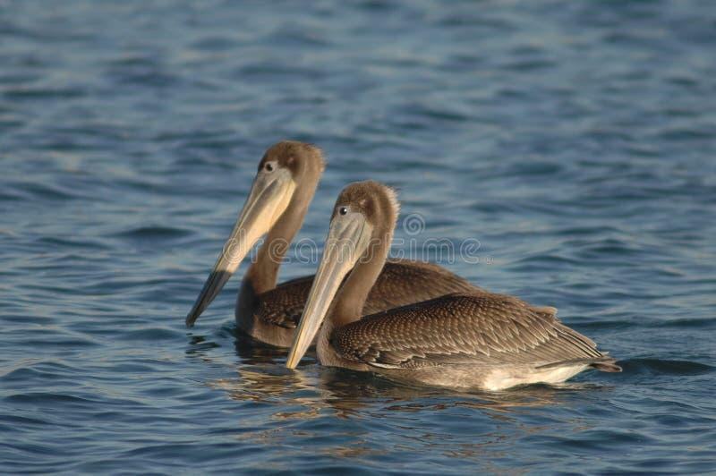 Brown Pelican - Immature stock photo