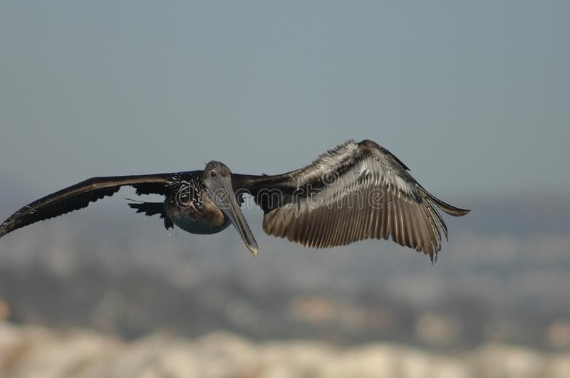 Brown Pelican - Immature royalty free stock image