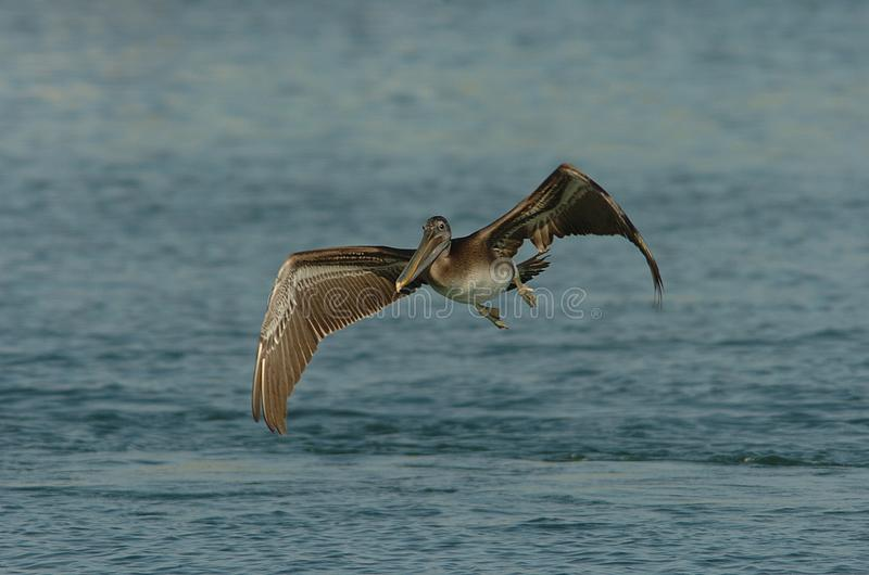 Brown Pelican - Immature royalty free stock photo