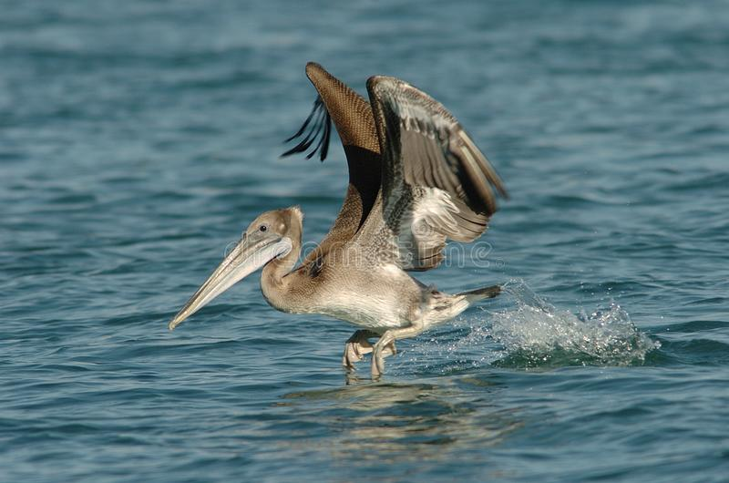 Brown Pelican - Immature stock photography