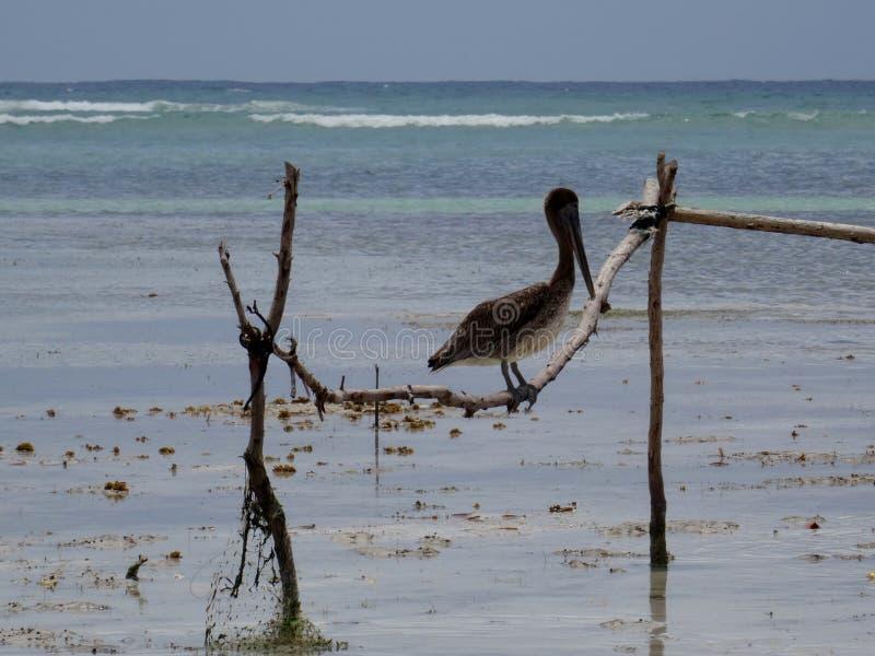 Brown Pelican in Jamaica royalty free stock images