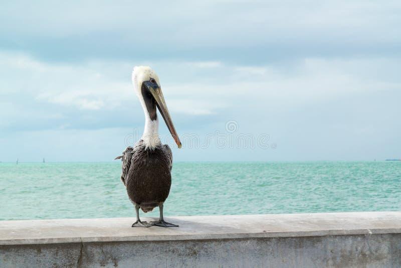 Brown pelican in Key West, Florida Keys. Portrait of brown pelican on White Street Fishing Pier in Key West, Florida Keys, USA royalty free stock images