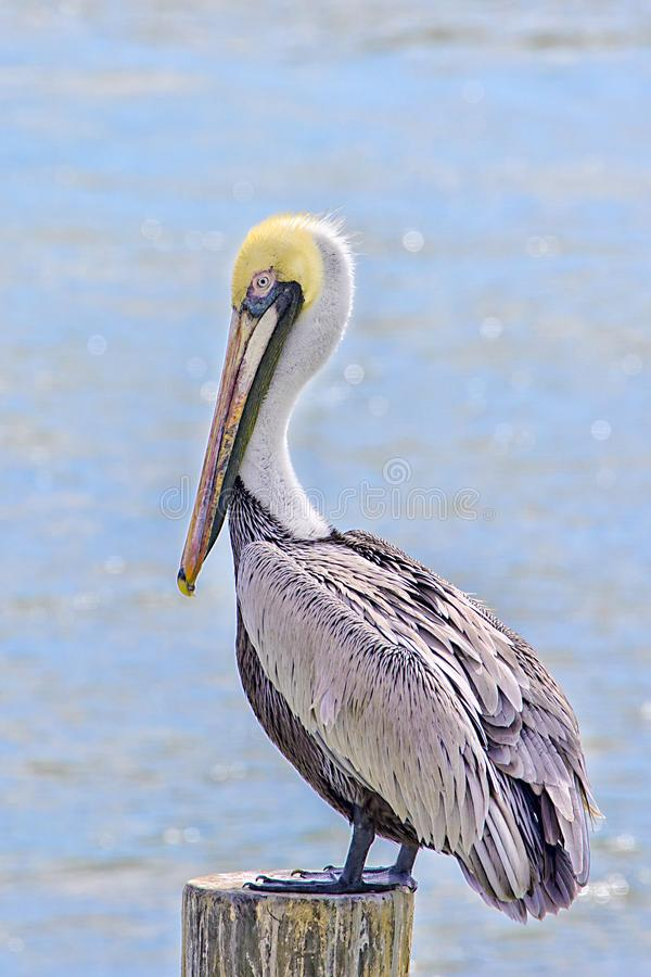 Brown Pelican On A Marine Post. A Brown Pelican is resting on a marine post with ocean water in the background stock photos