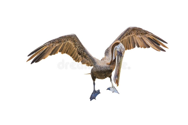 Brown Pelican royalty free stock image