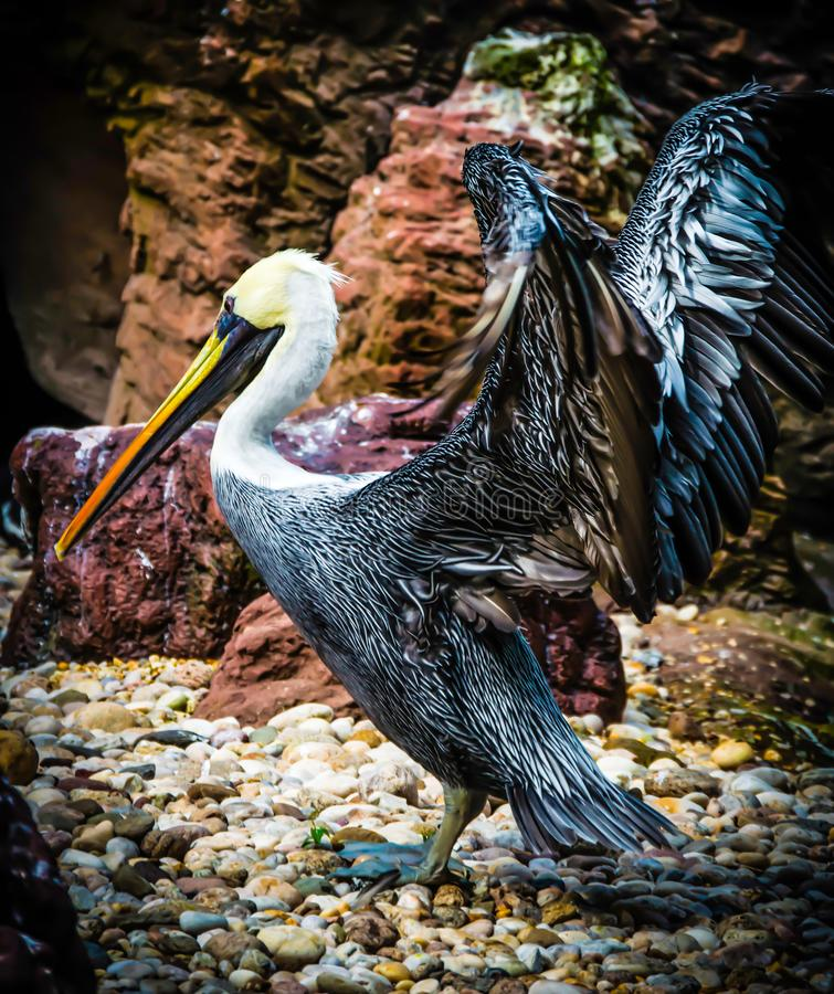 Brown pelican with outstreched wings. royalty free stock photos