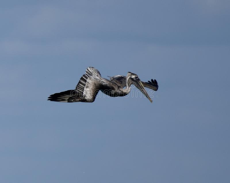 Brown Pelican over Tampa Bay #2 stock photos