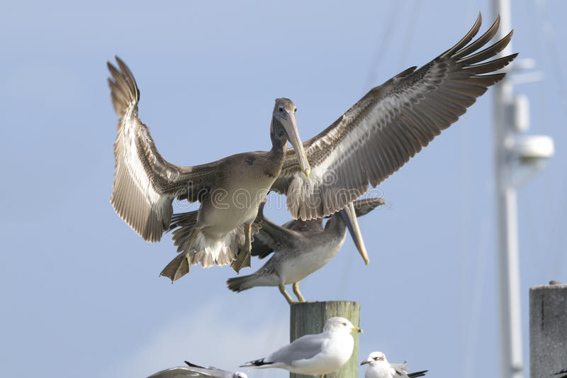 Download Brown Pelican, Pelecanus Occidentalis Stock Photo - Image: 12887546