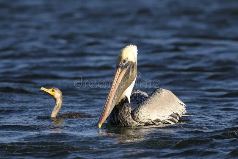 Download Brown Pelican, Pelecanus Occidentalis Stock Photo - Image: 13513422
