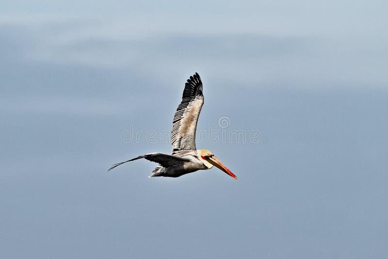 Brown pelican or Pelecanus occidentalis breeding adult stock photo