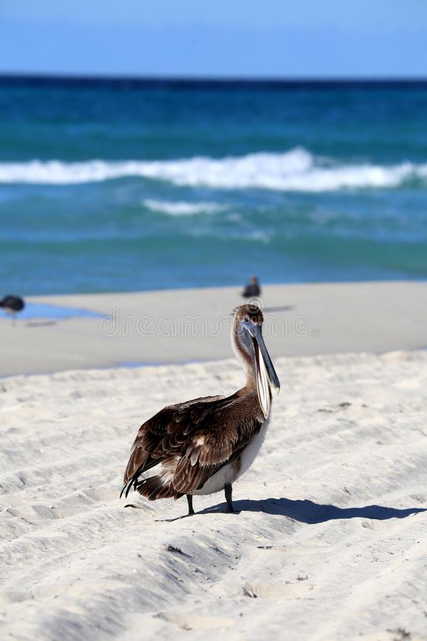 Brown pelican or Pelecanus occidentalis. The brown pelican Pelecanus occidentalis. Coastal distribution ranging from North America and the Caribbean to northern royalty free stock photo