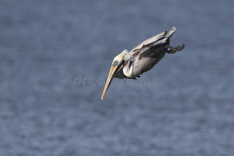 A brown pelican Pelecanus occidentalis diving in the Mexican Golf at Fort Myers Beach. stock photography