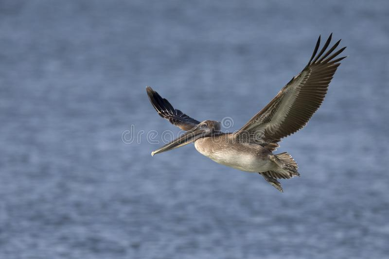 A brown pelican Pelecanus occidentalis in flight over water at Fort Myers Beach. stock image