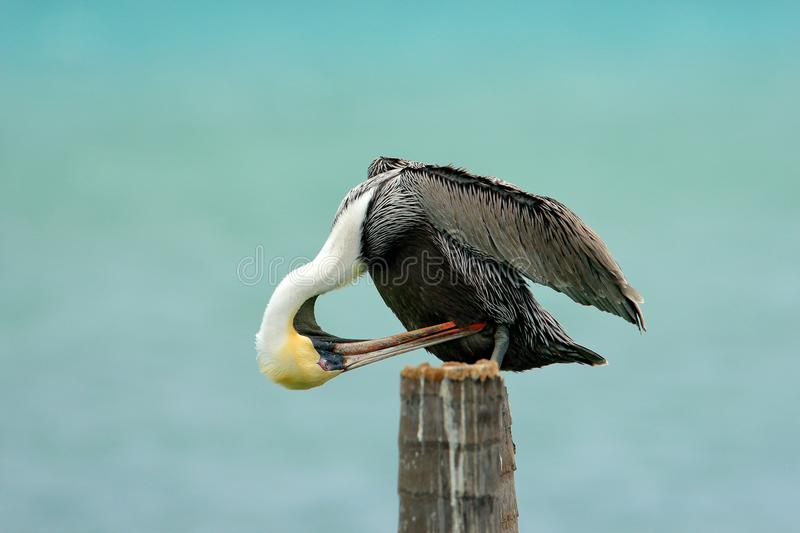 Brown Pelican, Pelecanus occidentalis, Florida, USA. Bird cleanig plumage. Pelican on tree trunk, sea in background. stock photos