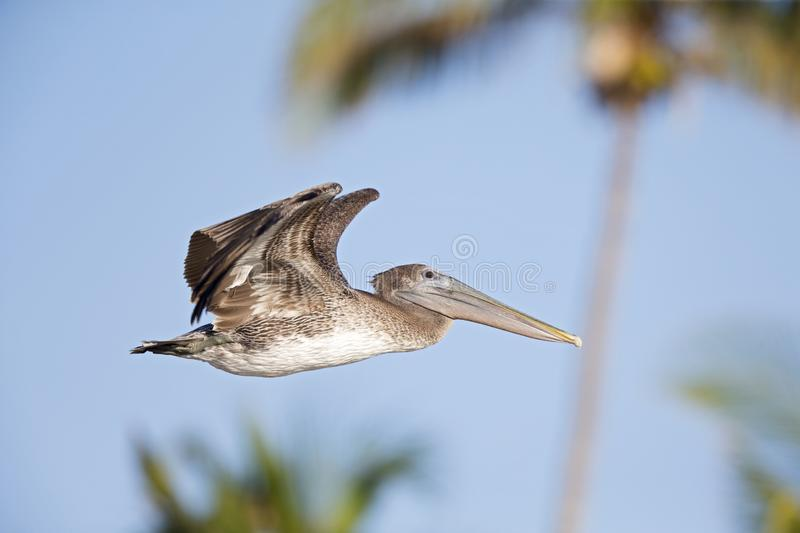 A brown pelican Pelecanus occidentalis flying in front of a blue sky and palm trees at Fort Myers Beach Florida. A brown pelican Pelecanus occidentalis in stock image