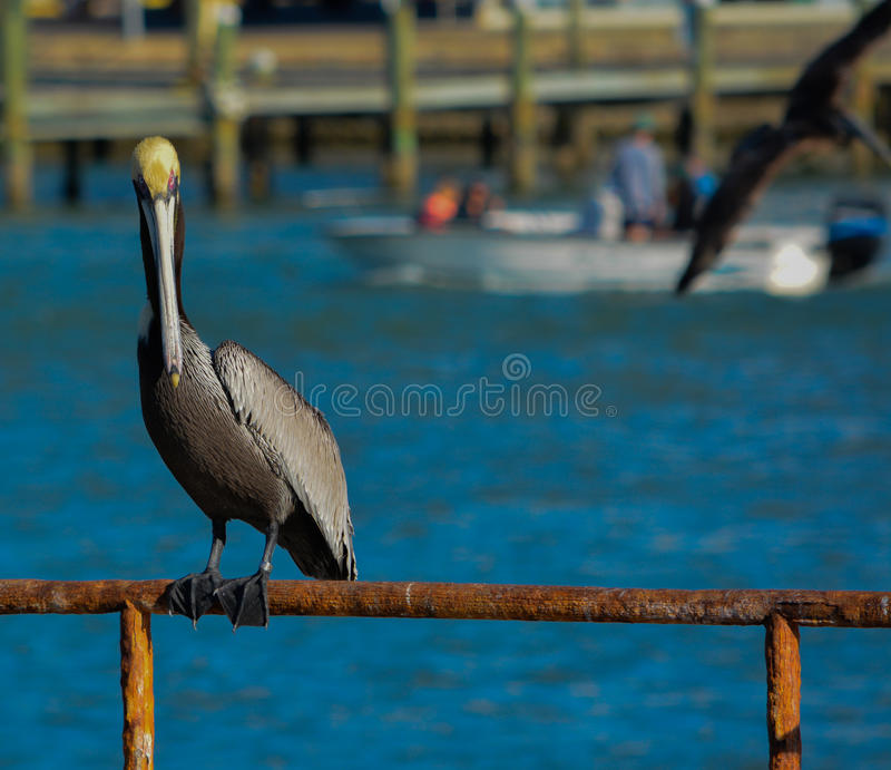 A Brown Pelican Pelecanus Occidentalis resting at Johns Pass on the Gulf of Mexico, Florida. A Brown Pelican Pelecanus Occidentalis resting after fishing royalty free stock photos