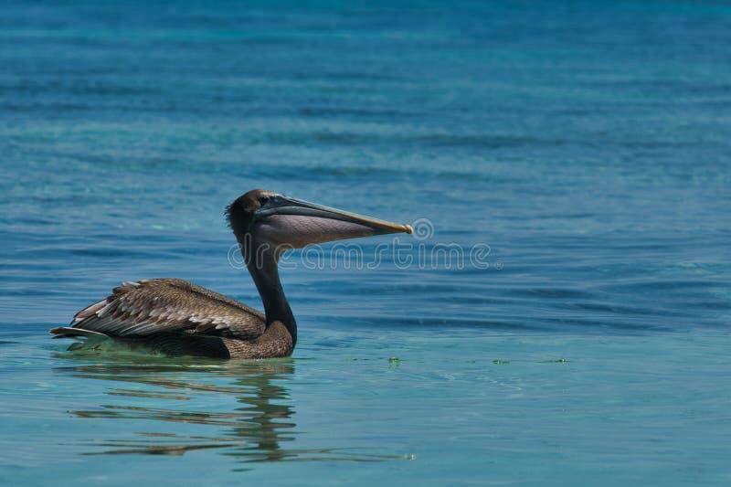 A brown pelican Pelecanus occidentalis in the warm Caribbean waters royalty free stock photos