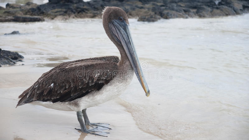Brown Pelican (Pelecanus occidentalis) stock images