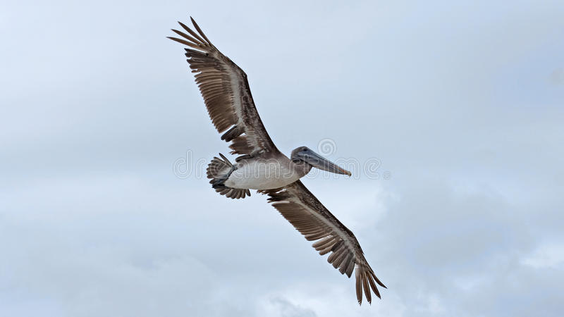 Brown Pelican (Pelecanus occidentalis) stock image