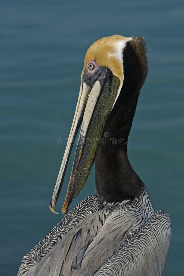 Download Brown Pelican (Pelicanus Occidentalis) Stock Image - Image: 22461013