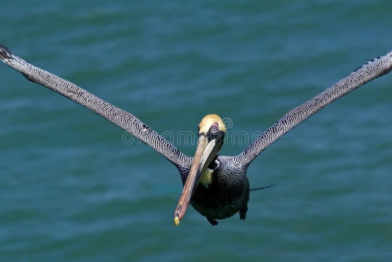 Download Brown Pelican (Pelicanus Occidentalis) Stock Photo - Image of gulf, wing: 23207358