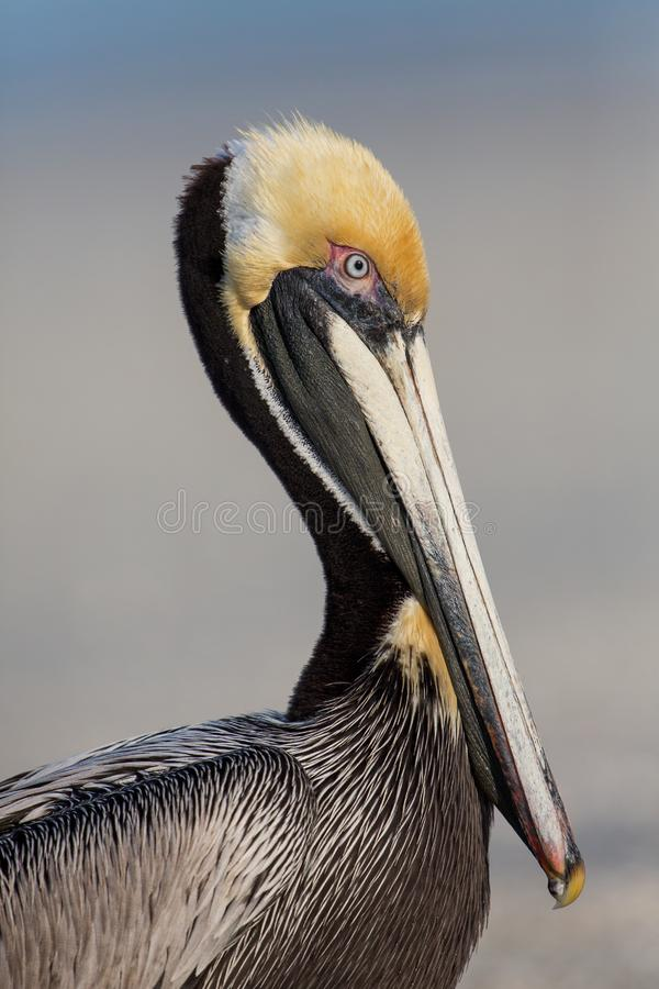 Free Brown Pelican Portrait Stock Photography - 92402332