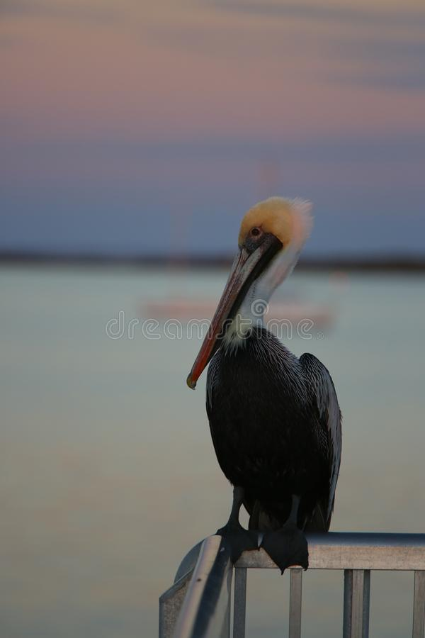 Brown Pelican. Portrait of brown pelican resting on a hand railing, at the sunset stock image