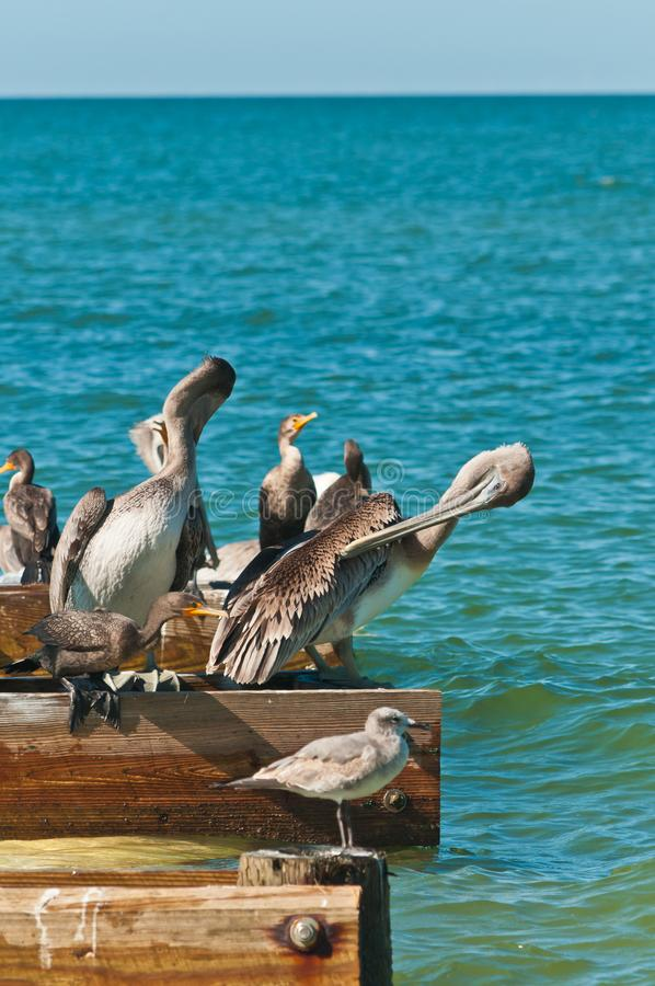 Brown pelican preening feathers on wood dock royalty free stock photo