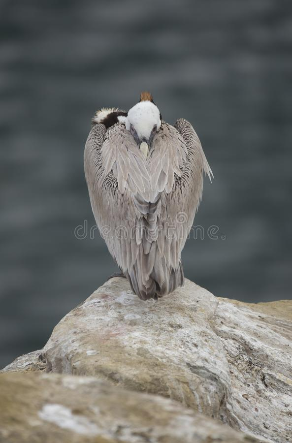 Brown Pelican resting. A Brown Pelican taking a bit of a nap on a rock at the La Jolla Cliffs in San Diego, California royalty free stock photos