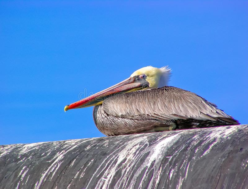 Brown Pelican Resting royalty free stock photography