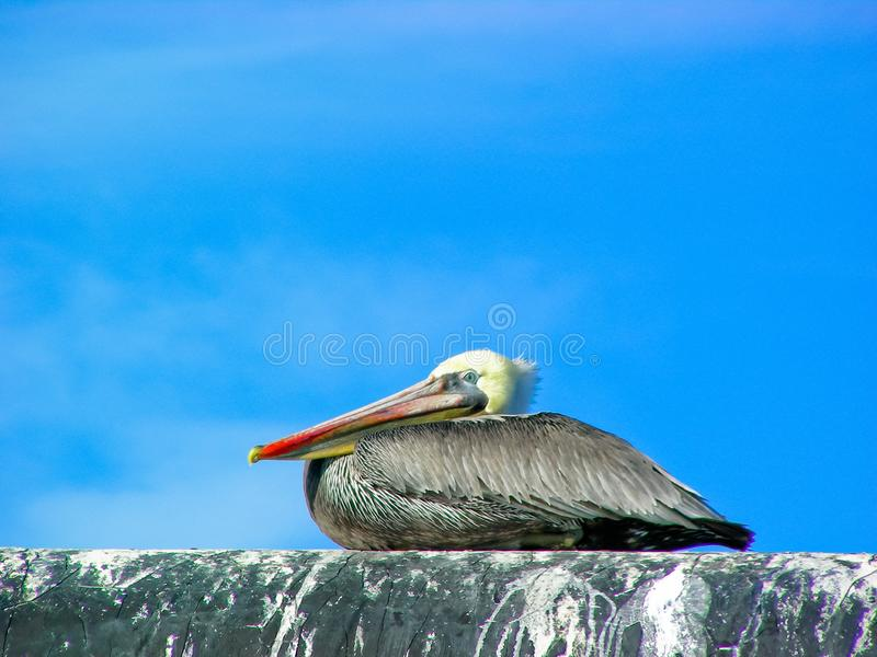 Brown Pelican Resting. A once endangered Brown Pelican, Pelecanus occidentalis, resting on an old pipeline at high tide on Humboldt Bay in Eureka, California stock photography
