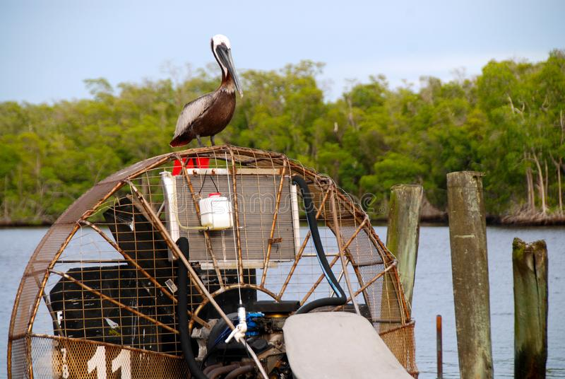 Pelican on airboat. Brown pelican resting on turbine of airboat in Everglades City stock images
