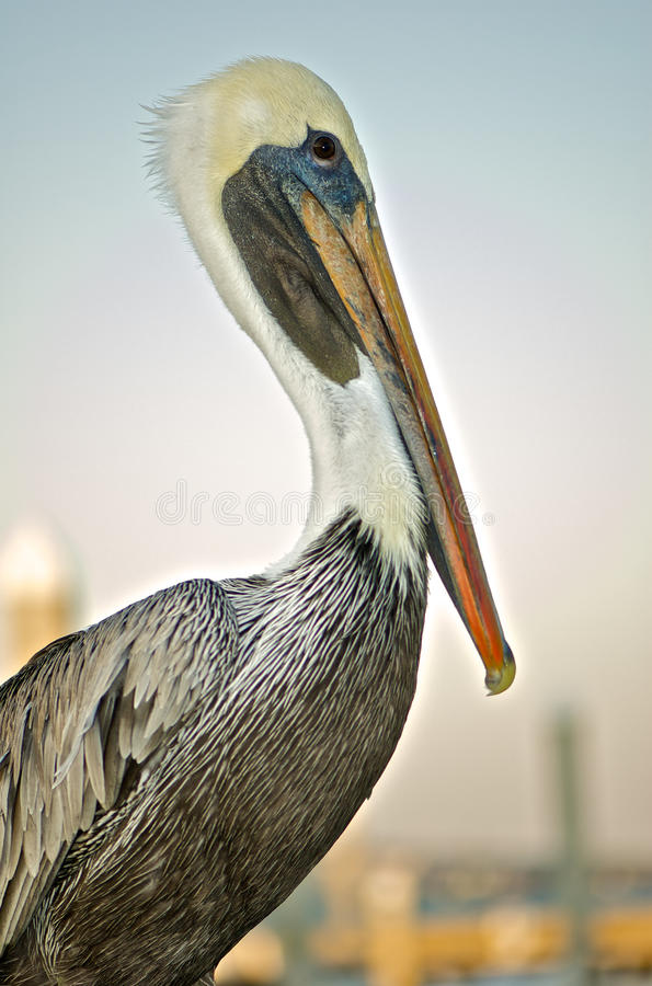 Brown Pelican. At roost against an empty sky stock photography
